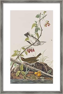 Golden Crowned Thrush Framed Print