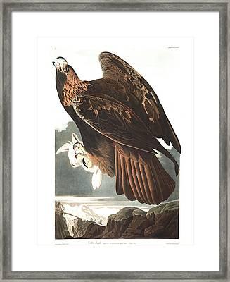 Golden Eagle Framed Print by John James Audubon