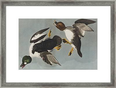Golden-eye Duck  Framed Print
