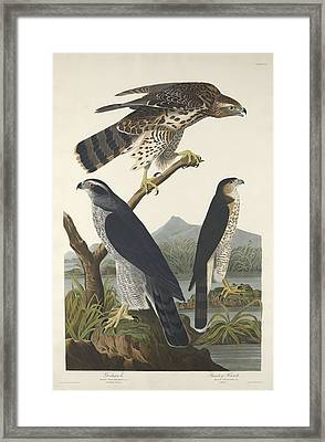 Goshawk And Stanley Hawk Framed Print