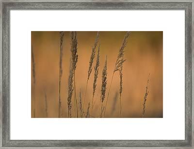 Grains Of Wheat In Rural Nebraska Framed Print by Joel Sartore