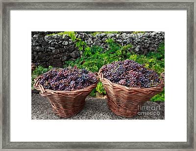 Grape Harvest Framed Print by Gaspar Avila