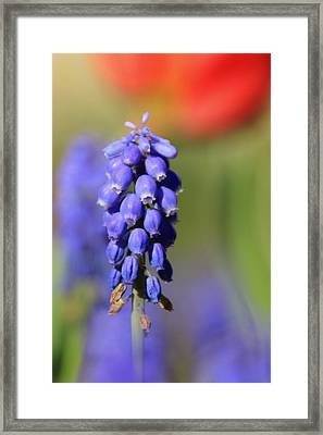 Framed Print featuring the photograph Grape Hyacinth by Chris Berry