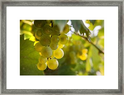 Grapes Filled With Sun Framed Print by Jenny Rainbow