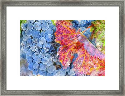 Grapes On The Vine In The Autumn Season Framed Print