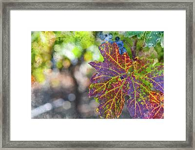 Grapevine In The Autumn Season Framed Print