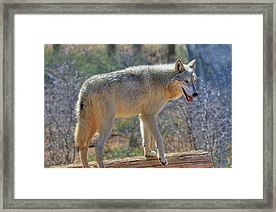 Gray Wolf Framed Print by Donna Kennedy