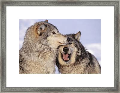 Gray Wolves Framed Print by John Hyde - Printscapes