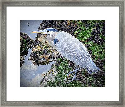 Framed Print featuring the photograph Great Blue Heron by AJ Schibig