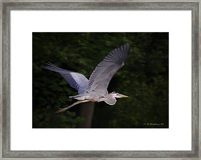 Great Blue Heron In Flight Framed Print by Brian Wallace