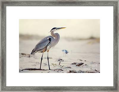 Great Blue Heron  Framed Print by Joan McCool