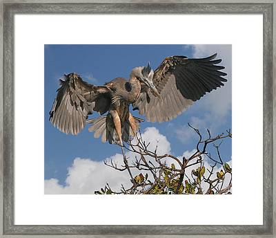 Great Blue Heron Framed Print by Larry Linton