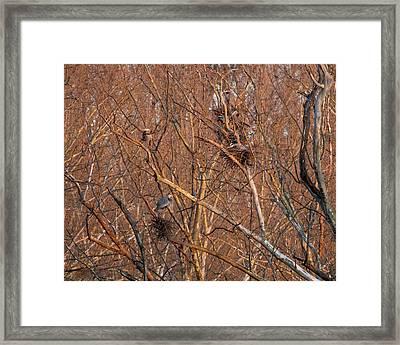 Great Blue Heron Nests Framed Print