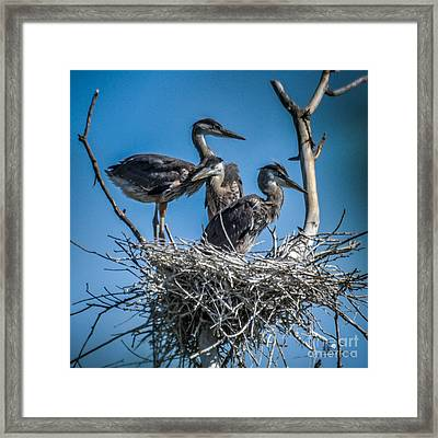 Great Blue Heron On Nest Framed Print