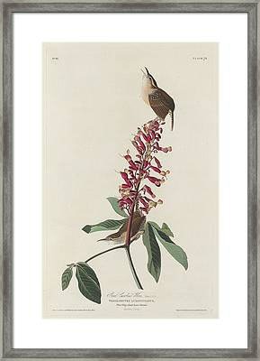 Great Carolina Wren Framed Print by Rob Dreyer