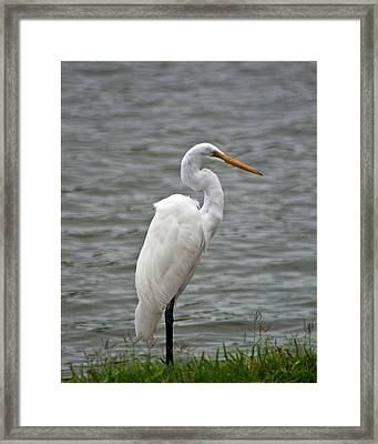 Framed Print featuring the photograph Great Egret by Bill Barber