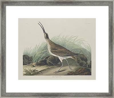 Great Esquimaux Curlew Framed Print by Rob Dreyer