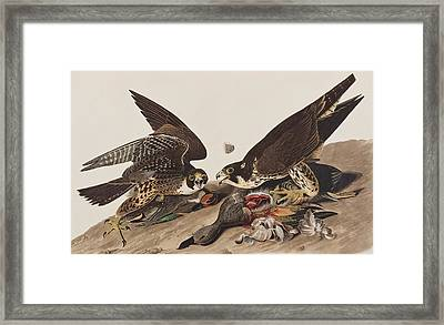 Great-footed Hawk Framed Print by John James Audubon
