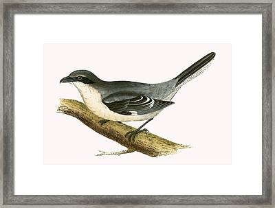 Great Grey Shrike Framed Print by English School