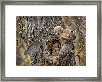 Great Horned Owlets In A Nest Framed Print
