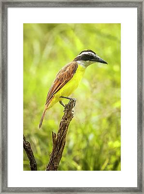 Great Kiskadee Panaca Quimbaya Colombia Framed Print