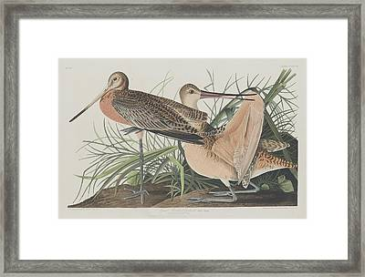 Great Marbled Godwit Framed Print by Rob Dreyer