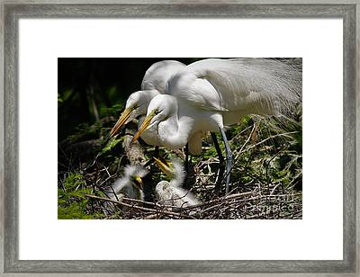 Great White Egret Family Framed Print