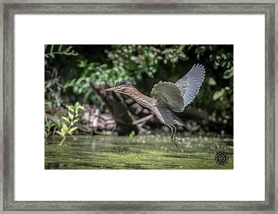 Green Heron Assabet River Massachusetts Framed Print by Stephen Beyer