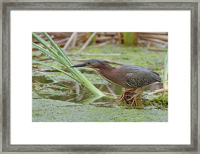 Green Heron Framed Print by Doug Herr