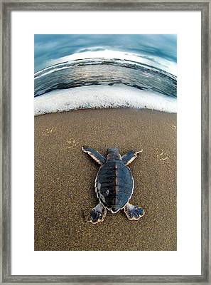 Green Sea Turtle Chelonia Mydas Framed Print