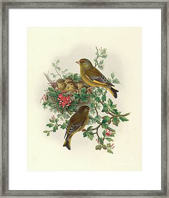 Greenfinch Framed Print by John Gould