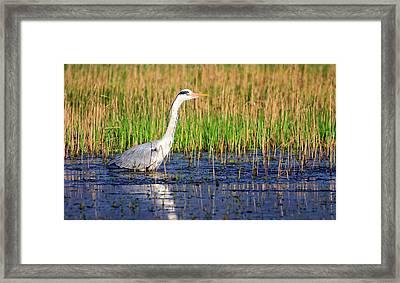 Grey Heron, Ardea Cinerea, In A Pond Framed Print by Elenarts - Elena Duvernay photo