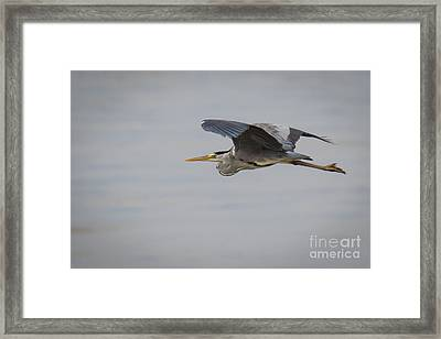 Grey Heron Framed Print by Jivko Nakev