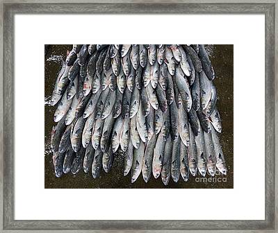 Grey Mullet Fish For Sale At The Fish Market Framed Print