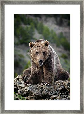 Grizzly Bear  Framed Print