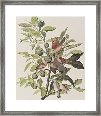 Ground Dove Framed Print by John James Audubon