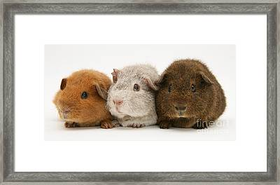Guinea Pigs Framed Print by Jane Burton