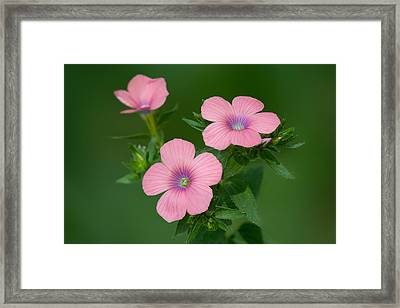Hairy Pink Flax Framed Print by Yuri Peress