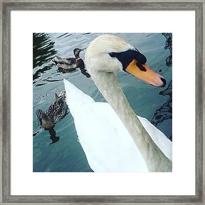 Hakucho Means Swan  Framed Print