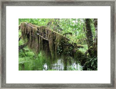 Hall Of Mosses - Hoh Rain Forest Olympic National Park Wa Usa Framed Print by Christine Till