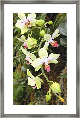 Hanging Orchids Framed Print by Mindy Newman