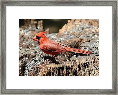 Hungry Cardinal Framed Print by Carol Groenen