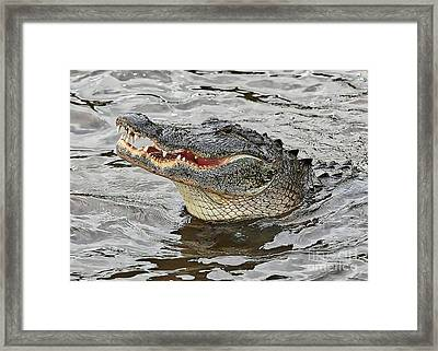 Happy Florida Gator Framed Print by Carol Groenen