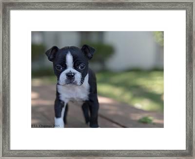 Harley As A Puppy Framed Print