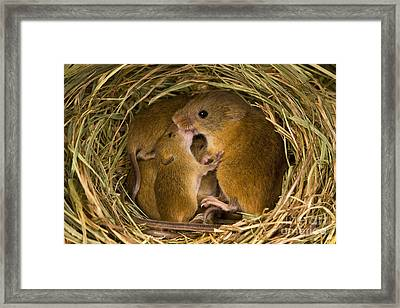 Harvest Mouse Feeding Pups Framed Print