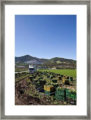Harvesting Lettuce Near Ventas De Framed Print by Panoramic Images