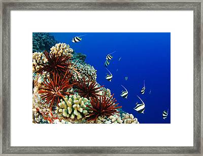 Hawaiian Reef Scene Framed Print by Dave Fleetham - Printscapes