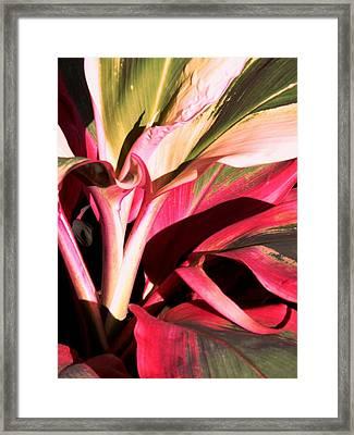 Cordyline Terminalis Electra Ti  Framed Print by Barrington Binger