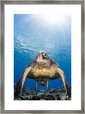 Hawaiian Turtle Framed Print