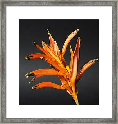 Heliconia Framed Print by Lynn Berreitter